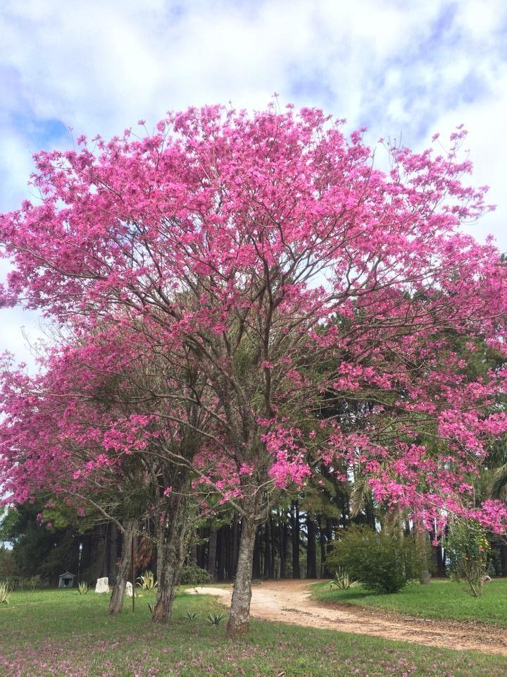 Ipês rosas em Cachoeira do Sul, estado do Rio Grande do Sul, Brasil.  Fotografia: Igor Janner.