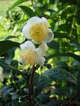 Camellia sinensis- My own tea in my own garden, very very tempting