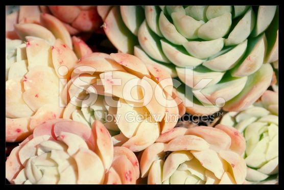 'Hens and Chicks' Succulent royalty-free stock photo