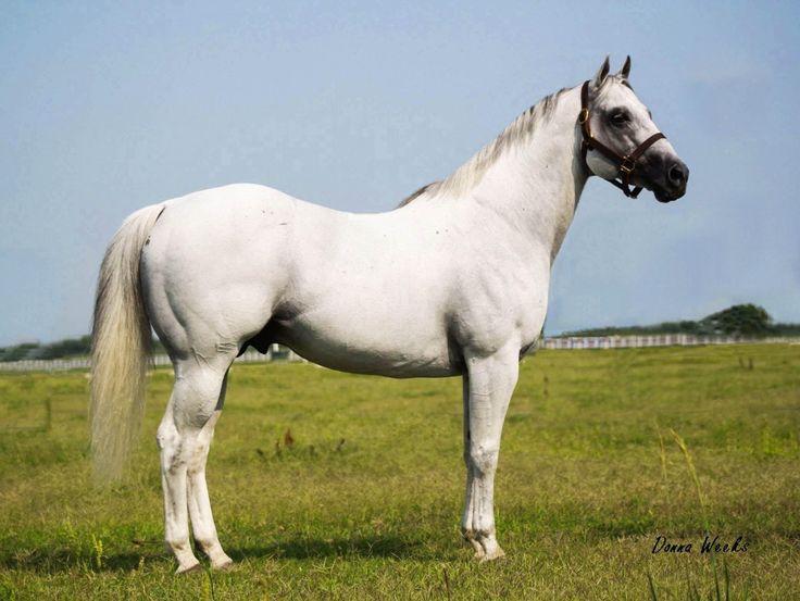 Quarter Horse - stallion Shake Em White