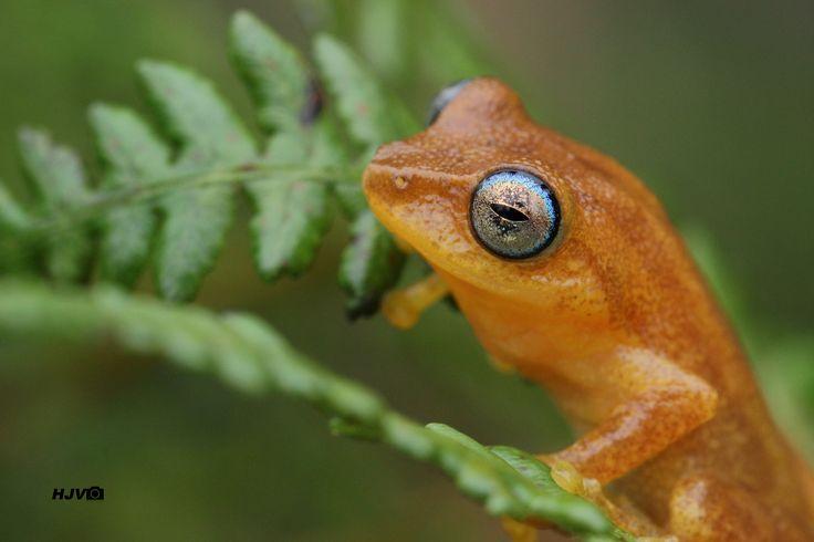 Those mesmerising blue eyes ...  © Harshith JV  Common name: Coorg Yellow Bush frog / Blue-eyed Bush Frog Scientific name: Raorchestes luteolus Place: Kudremukha, Karnataka Date: June 26, 2016  #frog #amphibian #anurans #Raorchestes #luteolus #Amphibia #Anura #Anuran #Rhacophoridae #canon #600d #tamron #macro #90mm