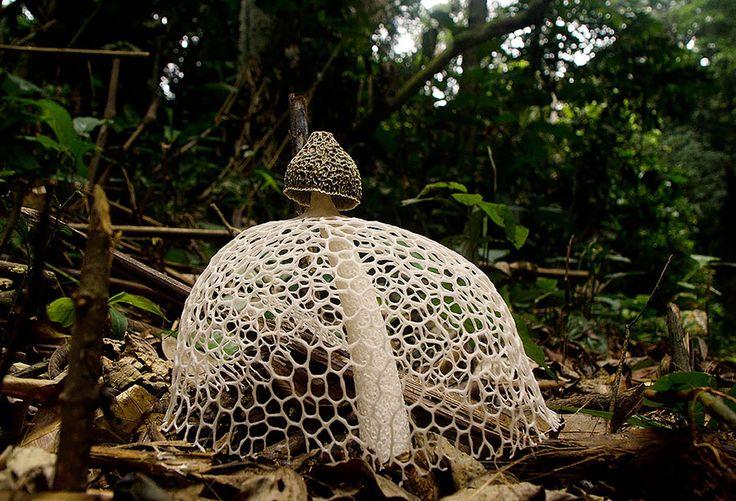 The Mystical World of Mushrooms - Phallus indusiatus