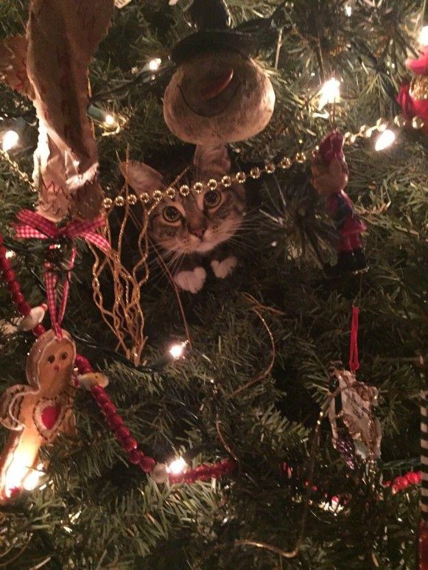 Les chats adorent la période des fêtes. Mais ce ne sont pas les cadeaux ou les réunions de famille qui les emballent. Non. Ce sont les arbres de Noël!