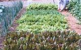 Rows of Heirloom Lettuce