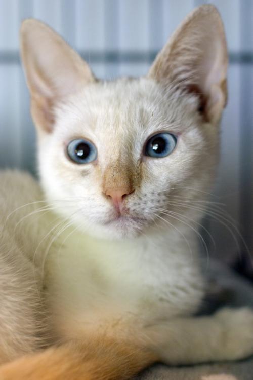 Meet Styles, a gorgeous Flame Point Siamese kitten available for adoption at Austin Siamese Rescue!