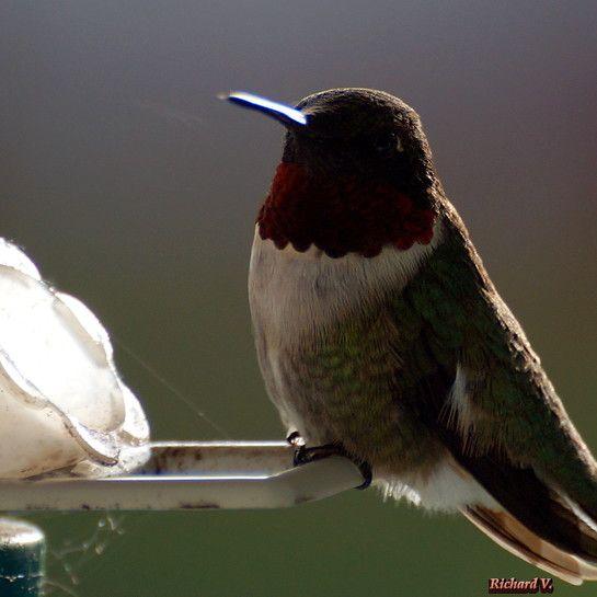 Colibri à la mangeoire