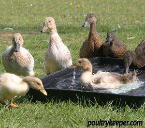 ducks in bath