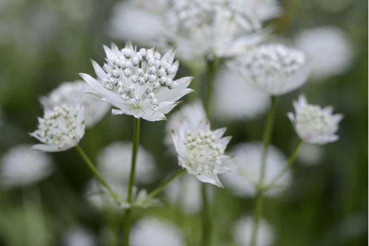 Plant profile of Astrantia major 'Shaggy' on gardenersworld.com