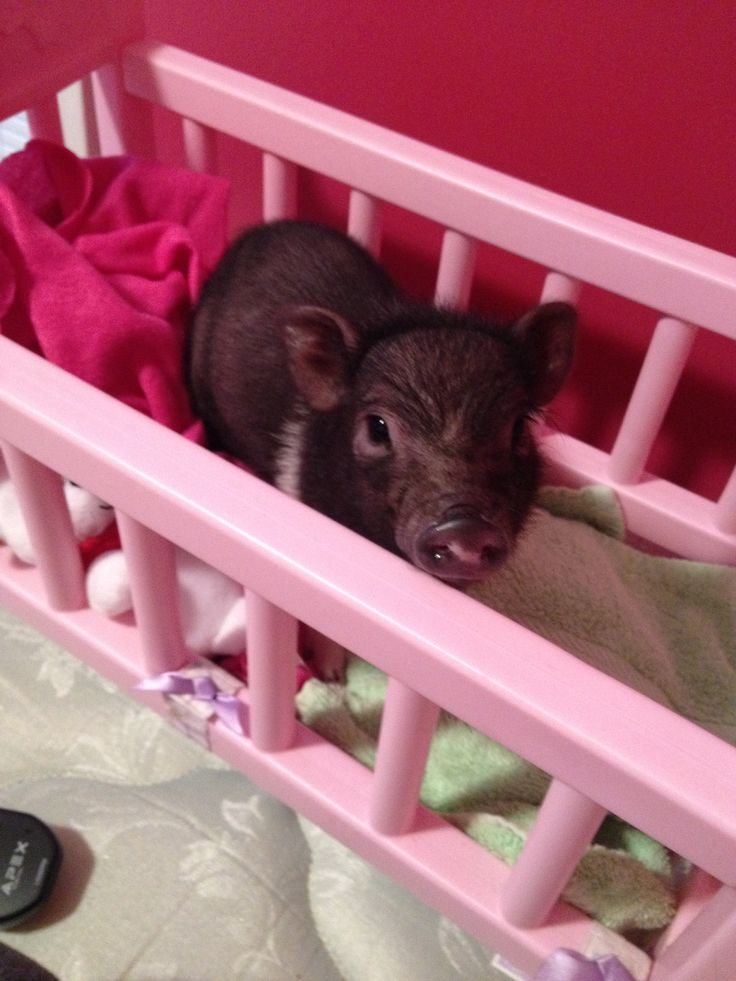 Use baby doll cribs for small pets. I used it for my teacup potbelly pig