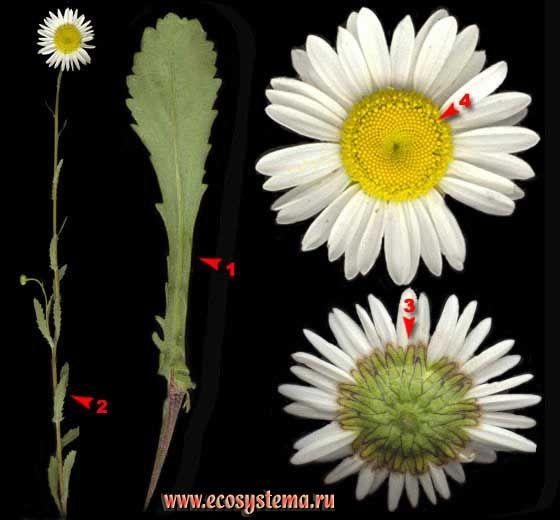 Нивяник обыкновенный, или Поповник, или Ромашка — Leucanthemum vulgare Lam.