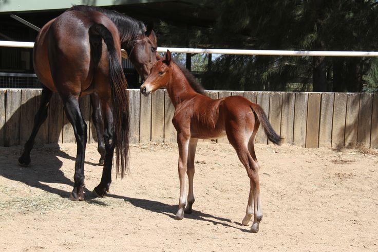 Art Major - Aratusa Lass  Standardbred Broodmare Foal Harness Racing Vicbred From Gary Crocker