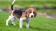 Pomeranian Funny  – Beagle