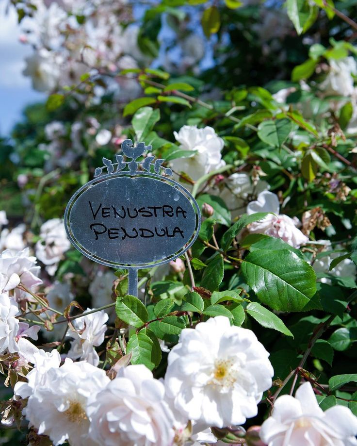 - Venustra Pendula - from Jette's garden. The flower name tags with Jette Frölich's signature logo are made from galvanized iron, available in our web-shop, you'll find a direct link in our bio. #venustrapendula #flowernametag #jettesgarden #gardenvisits #garden #gardening #roses #flowers #jettefrölich #jettefroelich #jettefrölichdesign #jettefroelichdesign #danishdesign #gardendesign #scandinaviandesign
