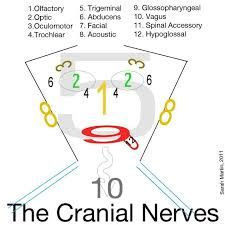 cranial nerves face mnemonic - Google Search