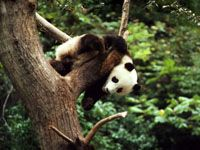 Free WWF Wildlife Wallpaper [lots of choices] Panda Wallpaper - page has links for iPad, iPhone, Droid