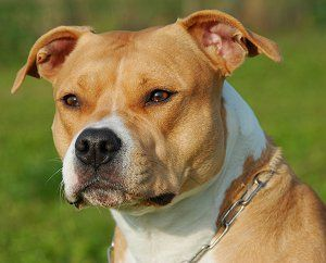 Stunning American Staffordshire Terrier