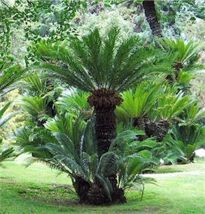 300 best god 39 s cycads images on pinterest for Cycas landscape design