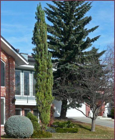 Pinus sylvestris 'Fastigiata',