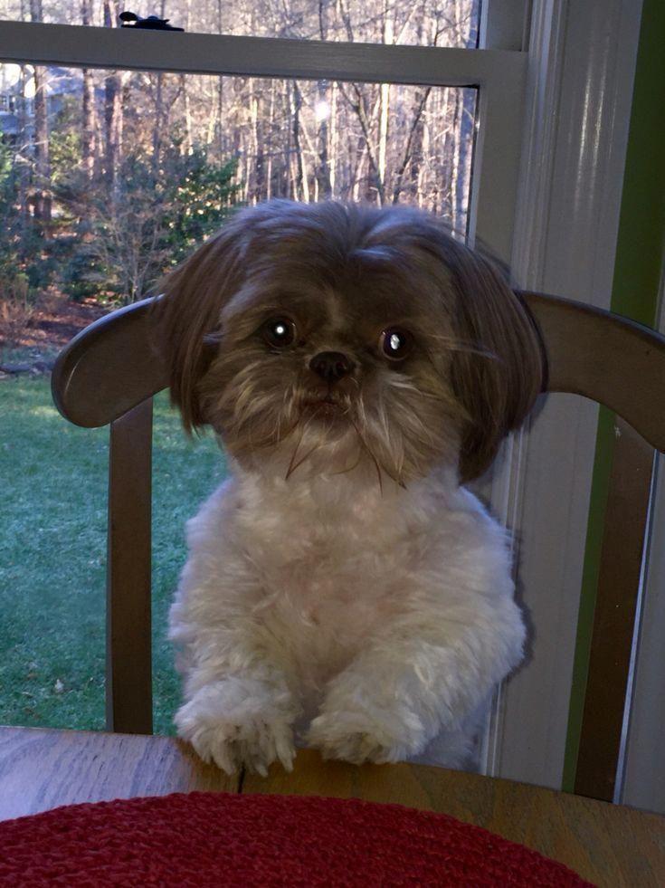 Shih Tzu Puppy Shih Tzu Puppy Shih Tzu Shih Tzu Dog