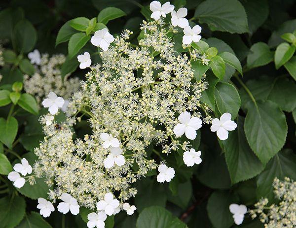 Buy climbing hydrangea Hydrangea anomala subsp. 'petiolaris'