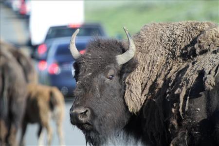 Yellowstone National Park - Buffalo Grid Lock