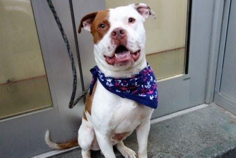 FRECKLES - A1119425 - - Manhattan  TO BE DESTROYED 08/01/17 A volunteer writes: Probably named for the little spattering of freckles across his nose, Freckles is all about snuggles and making friends. Wagging his tail at everyone we passed on our short walk, when the rain started he just wagged his tail harder and kept going. Stopping in a doorway to wait out the rain, Freckles made himself comfy on my lap as we watched all the people scurry by. His ears perked up as other