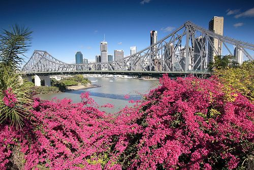 Story Bridge and Bougainvillea, Brisbane, Australia