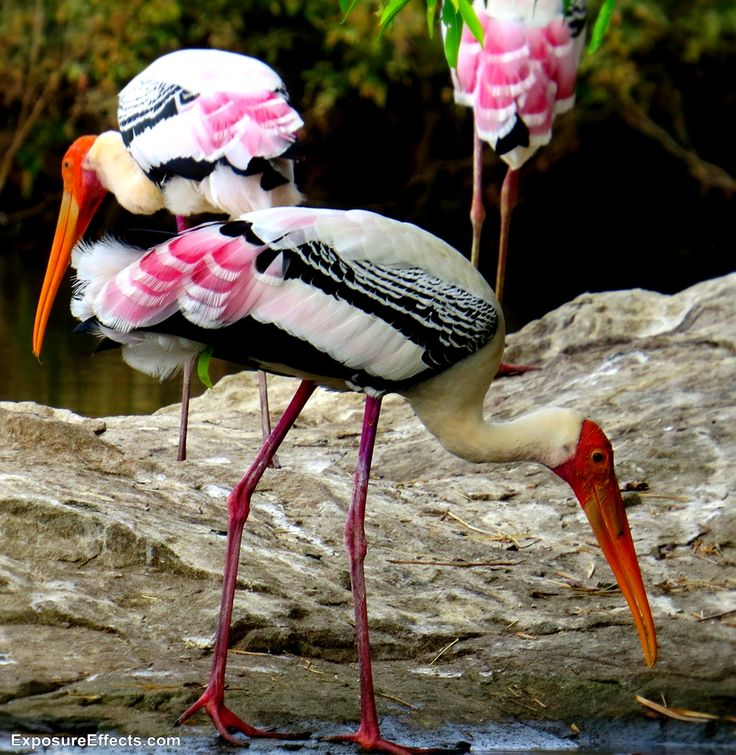 Ranganathittu Bird Sanctuary – Karnataka , India