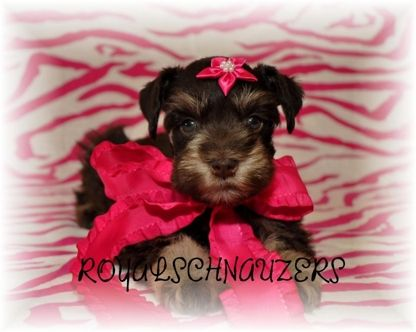 Mini schnauzer puppies, Schnauzer puppy and Puppies for sale on ... Miniature Schnauzer Utah