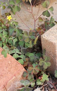 Control purple oxalis weed in your garden using a common insect repellent! #gardening #weeds