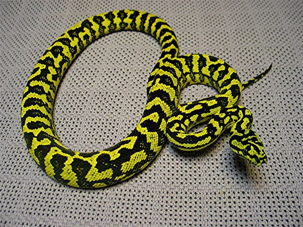 11 best images about Carpet Python on Pinterest  Shops