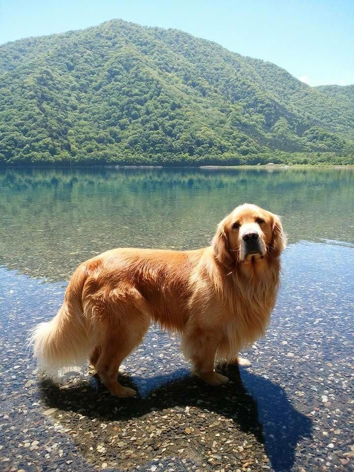 Find Out More On The Devoted Golden Retriever Pups And Kids
