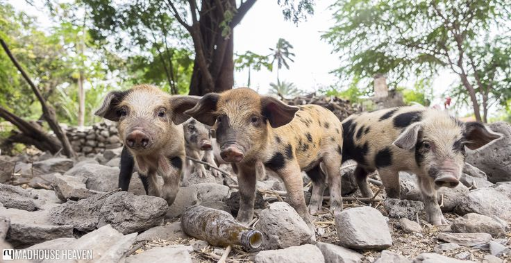 Three little spotted piglets in a small pen attached to one of the stone houses on the Rue des Bananas, Santiago island, Cape Verde