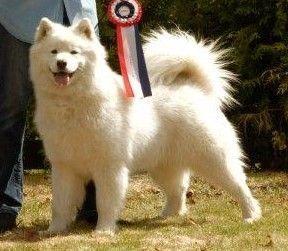 En ledig hannvalp leveringsklar 1. april. Samojed, den smilende hund, en av de mest allsidige hunderaser som finnes. Den kommer fra Sibir. Den ble brukt av samojedfolket som trekkhund, jakthund, gjeterhund og sengevarmer for barna. Fritjof Nansen brukte samojedhunder under sine polarekspedisjoner. Den stortrives i kulda. Kan brukes ute hele vinteren. Om våren røyter den og kan brukes hele somme...