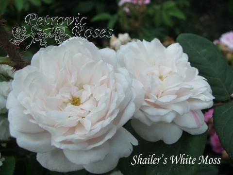 Shailer's White Moss | Petrovic Roses