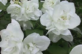 Puolipallomainen ja tiheä pikkujasmike on jasmikkeista pienikokoisin.Terälehtien vahva ahomansikan tuoksu säilyy jopa kuivatuissa kukissa.Korkeus: 100–150 cm.Pensaat tuleentuvat ja saavat keltaisen ruskavärin myöhään syksyllä.  valkoiset kukat avautuvat yleensä heinäkuun alkupuolella.Kasvupaikka: Aurinko–puolivarjo; tuore,runsasravinteinen ja kalkittu.  Vanhasta pensaasta poistetaan vuosittain vanhimpia, huonosti kukkivia oksia.