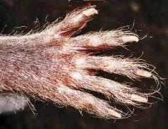 raccoon paw