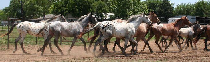 Cuore Appaloosa è un blog dedicato al 100% agli splendidi cavalli di razza Appaloosa, i famosi cavalli degli indiani d'America. Vuoi collaborare con Cuore Appaloosa? Vuoi pubblicare articoli …