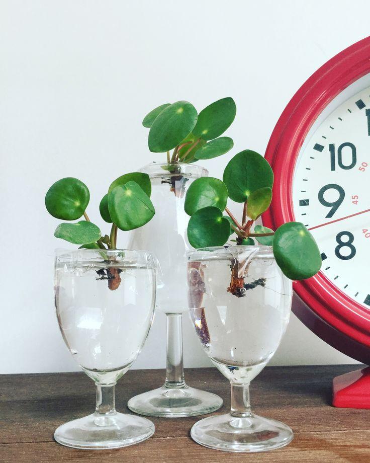 Pilea stekken Pannenkoekplant