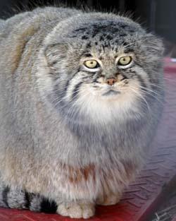Okay so this is a Pallas Cat. W.T.F. More like a Gremlin! Kinda want one, though...