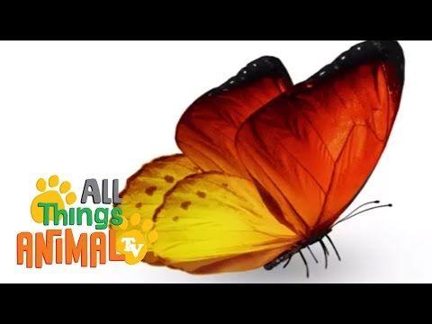 ▶ BUTTERFLIES   Animals for children. Kids videos. Kindergarten   Preschool learning - YouTube