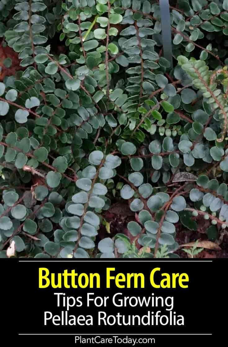 Button Fern Care Growing The Pellaea Rotundifolia Ferns Care