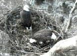 National Conservation Training Center Eagle.  Since we can't spy on our own eagle nest we will live through this one.