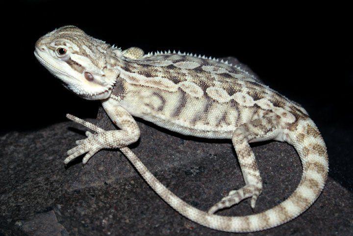 Snow morph bearded dragon