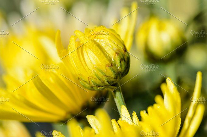 Yellow Chrysanthemum flowers Photos Close up buds yellow Chrysanthemum Morifolium flowers which is filled with morning dew. by Yongkiet