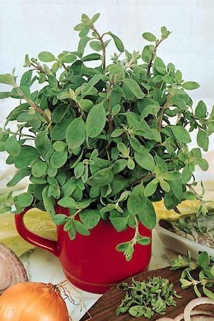 Sweet Marjoram can be used fresh or dried to add spicy flavor to soups, vegetables, salads and meats.