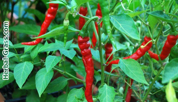Перец красный острый (кайенский, чили) - полезные и лечебные свойства, рецепты…