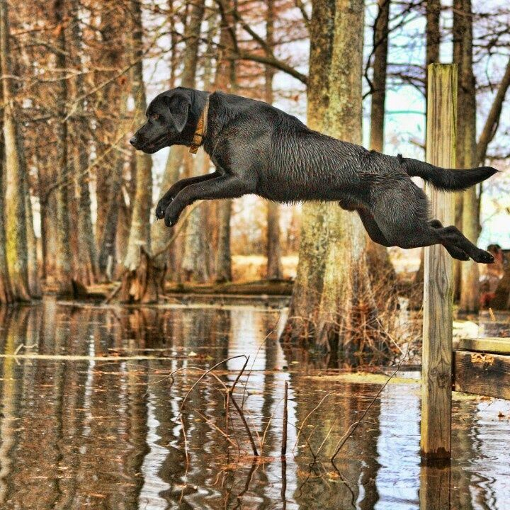 Labs and water!