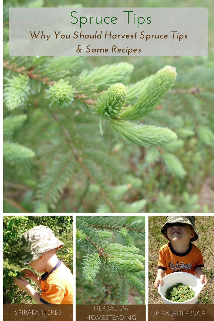 Spruce Tips - Why You Should Harvest Spruce Tips