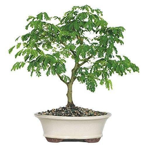 Bonsai Brazilian Rain Tree Plant Garden Hooseplant Flower Best Gift Decor NEW #BonsaiBrazilian
